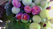 Siva trulež grožđa (BOTRYTIS CINEREA)