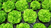 Zaštita salate u plastenicima