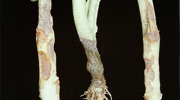 Poleganje rasada (Phytium sp. Rhizoctonia spp., Fusarium spp., Phytophthora spp., Sclerotinia spp)